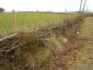 Hawthorn newly laid hedge