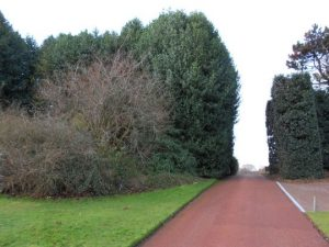 Holly windbreak and cut as hedge on right a