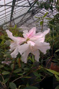Rhododendron horlickianum Kingdon-Ward 9403