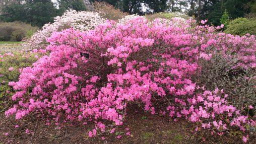 Rhododendron (Azalea) albrechtii