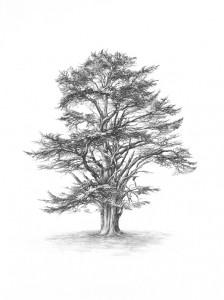 Cedar of Lebanon lores
