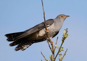 Cuckoo Wikipedia Cuculus_canorus_vogelartinfo_chris_romeiks_CHR0791_cropped