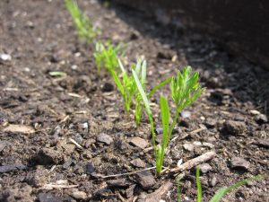 Carrot seedling one month after sowing.