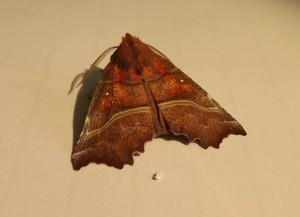 Herald moth.