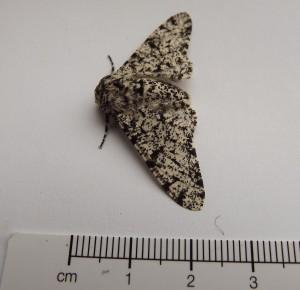 Peppered Moth.