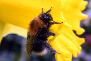 Tree Bumblebee Bombus hypnorum. Source: Wikipedia.