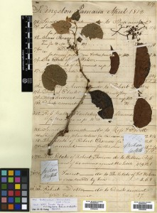 William Griffith Specimens from Bhutan collected 1837/8. Vitis heyneana and Parthenocissus semicordata.