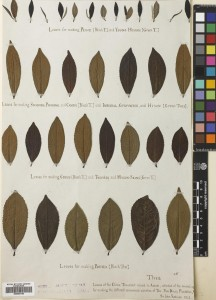 Demonstrating the different grades of Tea. Specimen collected by Sir John Robison, 1841 on the Dinjoy [tea] Plantation, Assam, India
