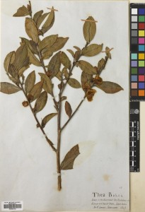 Camellia sinensis. Collected on Government plantations in 1849 by W. Jameson. Kumaon, and Deyrah Dhoon, Saharunpore