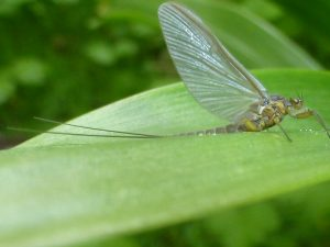 Large Dark Olive mayfly (Baetis thodani) (15th May)