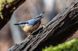 Eurasian Nuthatch (Sitta europaea). Source Wikipedia, uploaded to Commons on 13 March 2014 by Snowmanradio.