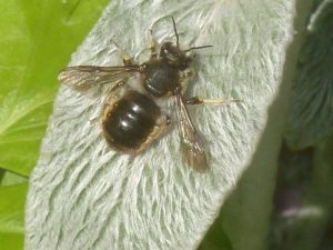 Wool Carder Bee Anthidium manicatum on Stachys leaf, RBGE Edinburgh in 2012. Photo Robert Mill.