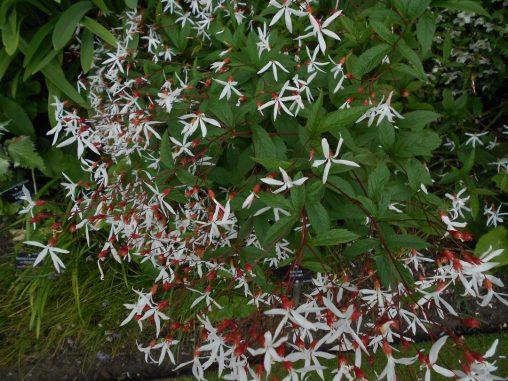 Gillenia trifoliata