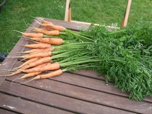 Thinning from the crop of F1 carrot 'Fly Away' showing how succesful this particular sowing has been.