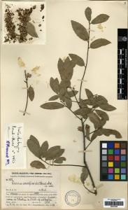 Specimen of Quercus cocciferoides