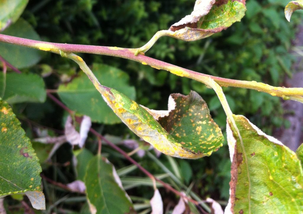 Rust fungi infection on goat willow.