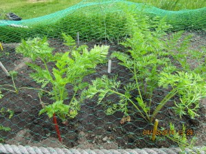 The carrot 'Long Red Surrey' intercropped with the radish 'Dragon' F1 at Cruickshank Botanic Garden.