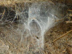 Web of Segestria senoculata on trunk of Robinia pseudacacia, 17 July 2014. Photo Robert Mill.