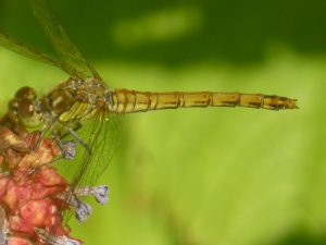 Black Darter dragonfly, by Pond, 23 July 2014. Photo Robert Mill.