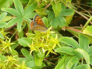 Small Copper butterfly, Rock Garden, 29 July. Photo Robert Mill.