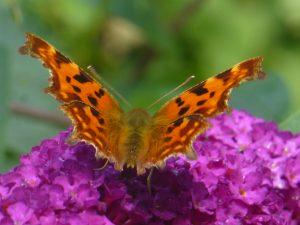 Comma butterfly, 30 July 2014. Photo Robert Mill.