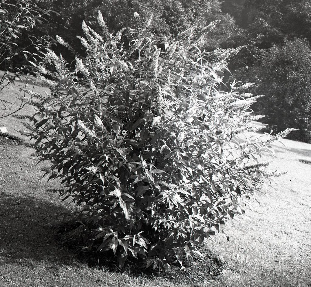 Buddleia fallowiana in flower at RBGE in 1928, from our glass plate negative collection.