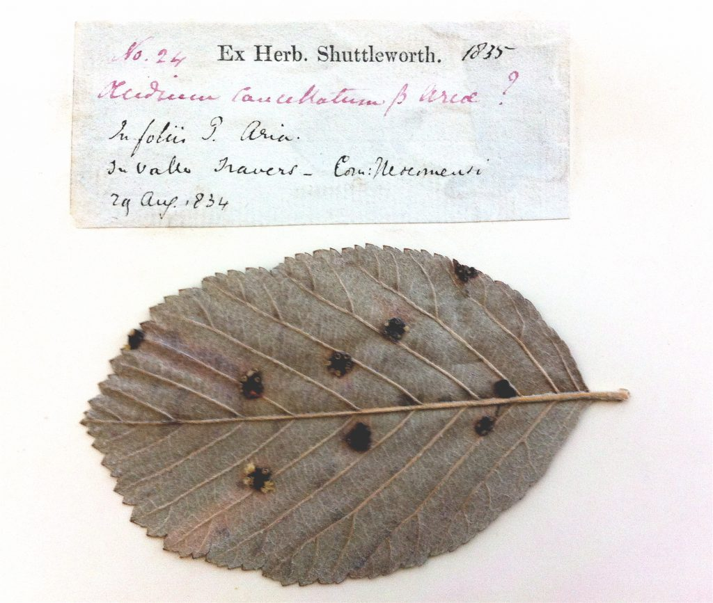 A specimen of rust fungi from the Herbarium at the Royal Botanic Garden Edinburgh.