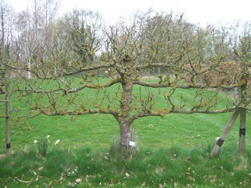 Pruning Cordon Fruit Trees Botanics Stories
