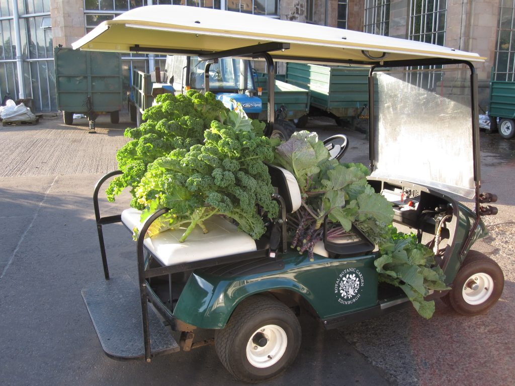 The Botanics buggy gets pressed into service to transport the crop for weighing.