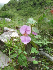Imptiens glandulifera, Himalayan Balsam. Possibly becoming and invasive weed in Nepal. Flora of Nepal 2014