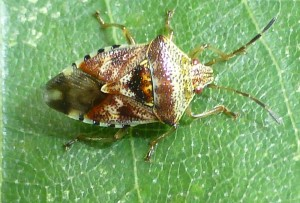 Parent Bug on birch leaf, 8 August