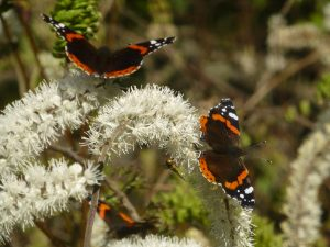 Red Admirals on Cimicifuga, 24 September
