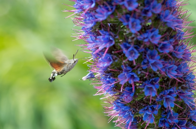 Humming-bird hawk-moth at Logan feeding on Echium pininana from the Canary Islands.