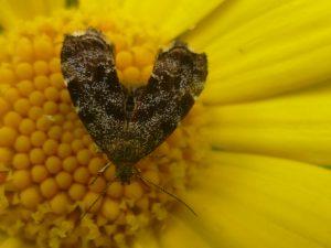 Nettle-tap moth on Corn Marigold
