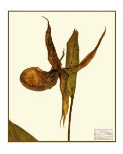 Cypripedium_montanum_Dougl1
