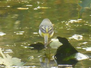 Rear-end view of Grey Wagtail, Motacilla cinerea, on Chinese Hillside pond, 8 October 2014. Photo Robert Mill.