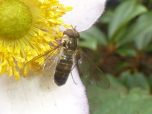 Very dark morph of Marmalade Hoverfly, Episyrphus balteatus, 16 October. Photo Robert Mill