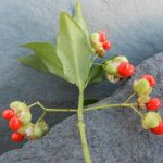 Euonymus spraguei