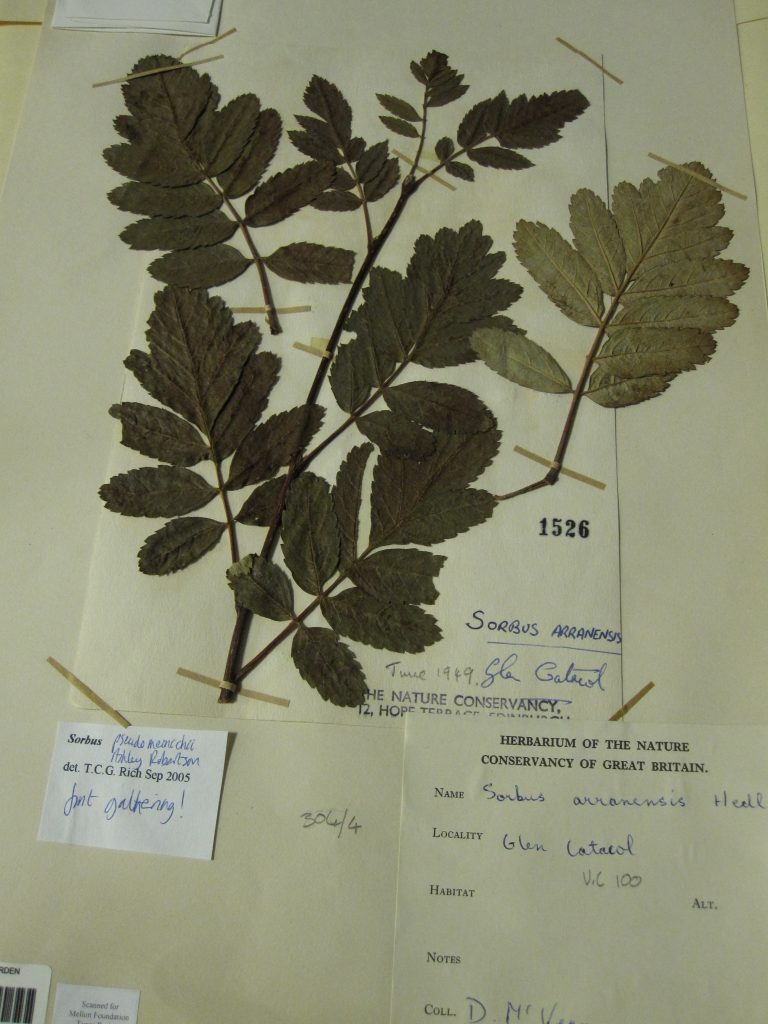 The original 1949 McVean specimen of Catacol whitebeam with annotations indicating it to be the 'first gathering.'