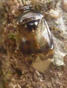 Deraeocoris lutescens, 12 November. Photo Robert Mill