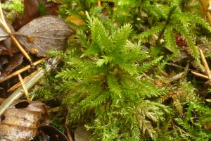 Climacium dendroides, a moss that looks like a miniature tree: 26 November. Photo Robert Mill