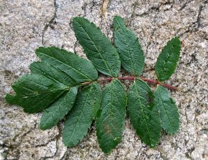 Leaf of Catacol whitebeam (Sorbus pseudomeinichii) showing the distinctive enlarged terminal leaflet.