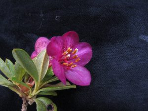 Rhododendron lepidotum. Field Note. Photo Dr Colin Pendry