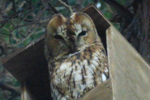 Tawny Owl, seen more frequently during 2014