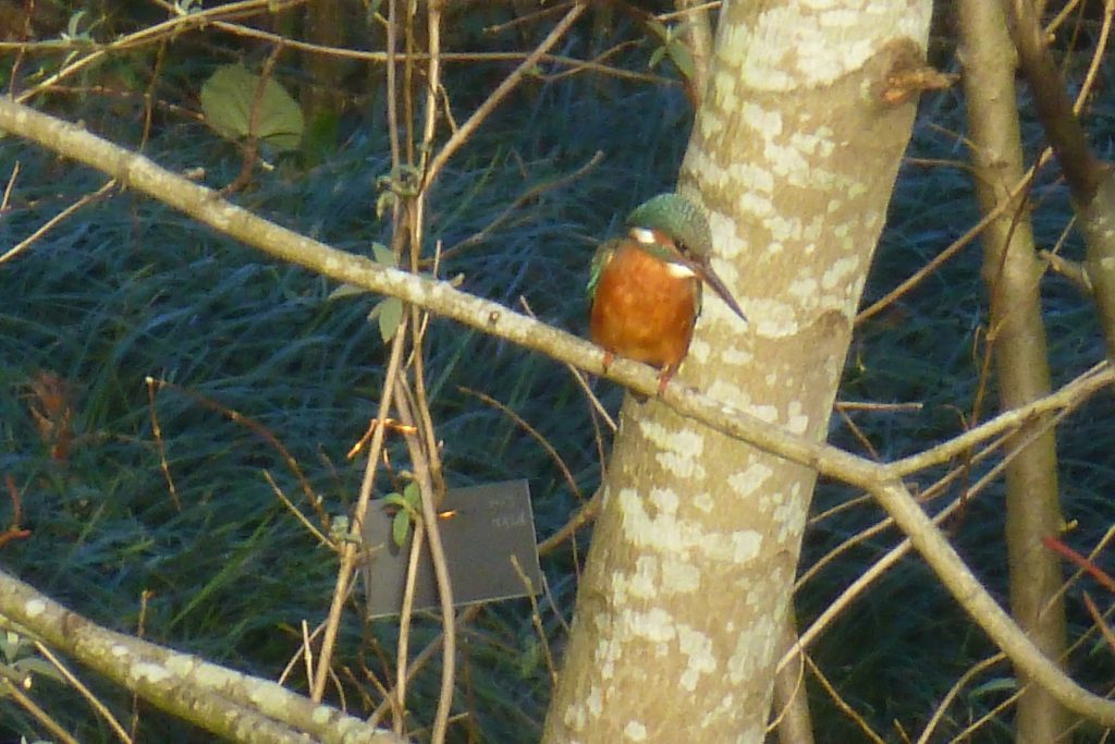 Kingfisher (Alcedo atthis), 26 January 2015. Photo Robert Mill.