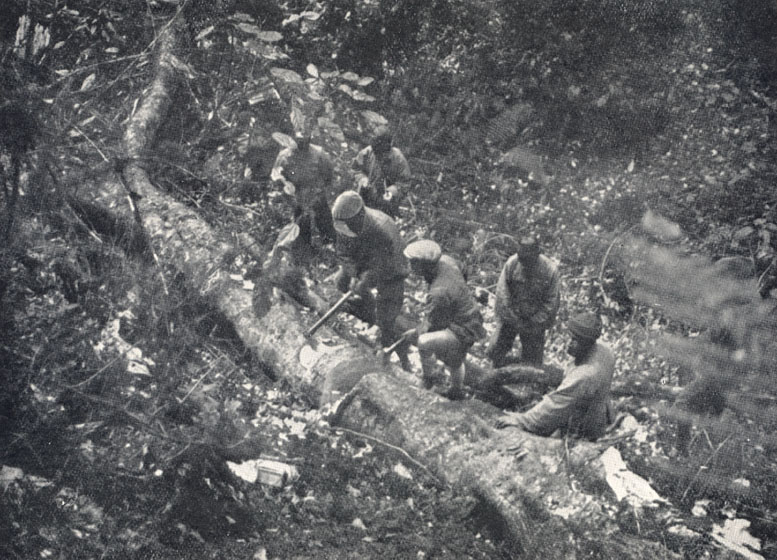 Forrest's collectors cutting up the massive rhododendron.