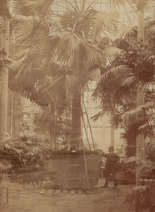 Photo of the sabal palm in the tropical Palm House at RBGE c.1874 with previously unidentifiable figure - surely the same man as in the Rock Garden image?