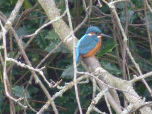 Kingfisher Alcedo atthis, Pond, 18 February 2015. Photo Robert Mill
