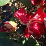 Rhododendron meddianum var. atrokermesinum