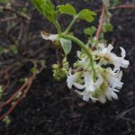 Ribes sanguineum 'Albidum'